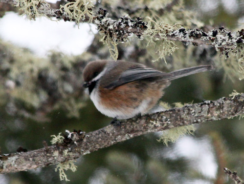 Boreal Chickadee | by Laura Erickson