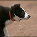 Champ Puppy Shake