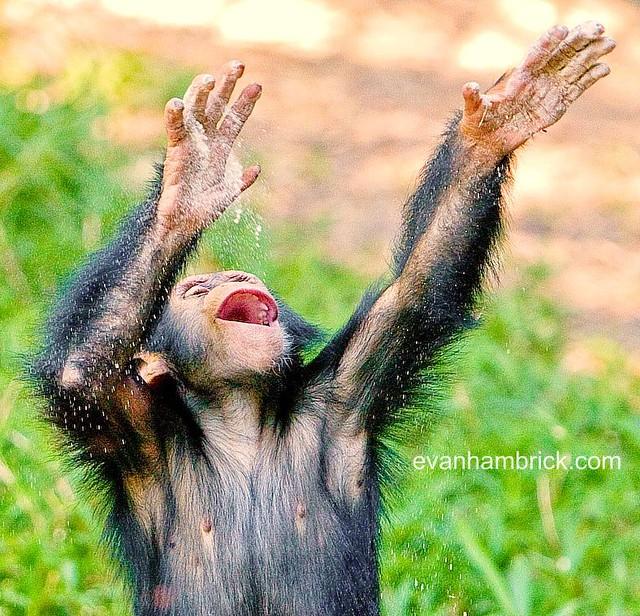 Baby Chimpanzee | Flickr - Photo Sharing!