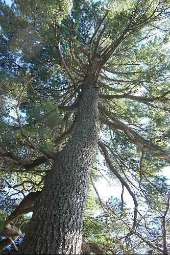 Acadia National Park >> White Pine Tree in Acadia National Park, Maine | The ...