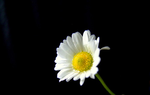DAISY | by brian eglington