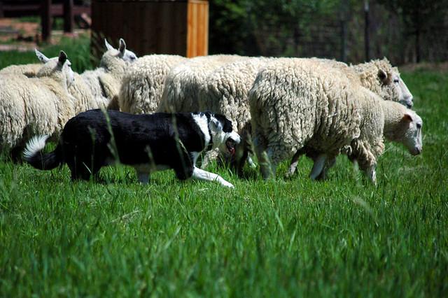 Sheep Dog Leads Sheep Into House Reddit