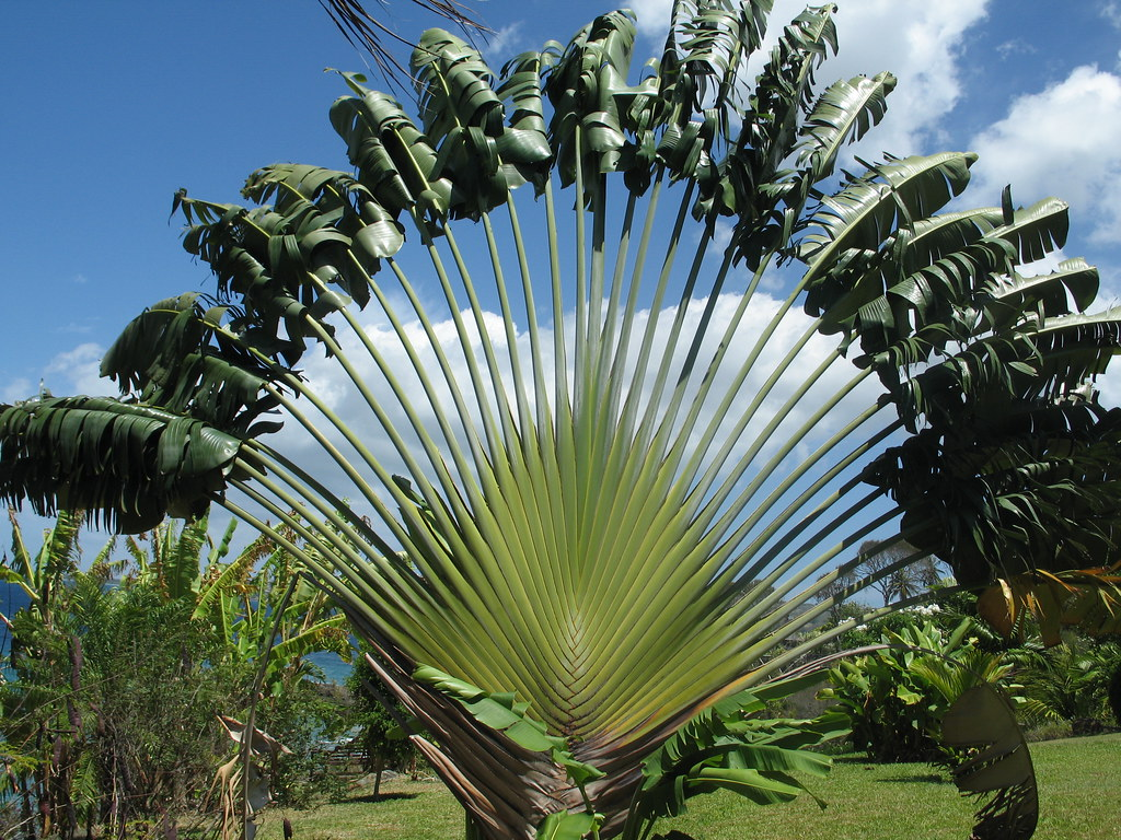 Travellers palm at ohana villa what a stunning plant flickr