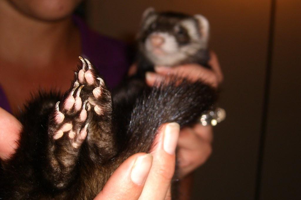 Ferret Feet | glowmeister | Flickr