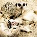 meercats - RAWR!