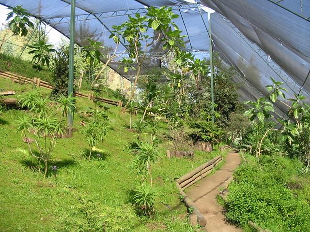 Dendroseris neriifolia dendroseris litoralis jard n for Jardin botanico vina