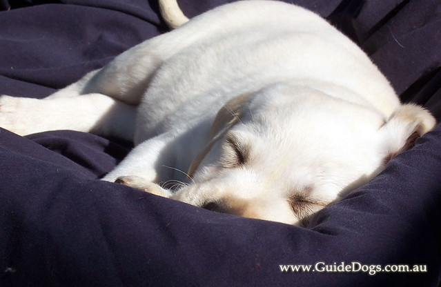 Nsw Guide Dog Puppy Raiser Faq