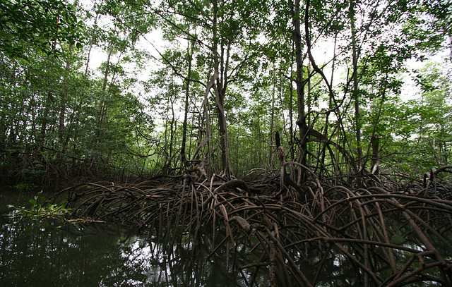 crossing the mangrove Well: in this sense, francis sancher is an allegorical text, and crossing the mangrove is a novel about reading sancher the setting of the novel is a wake: the characters gather to acknowledge in some way the.