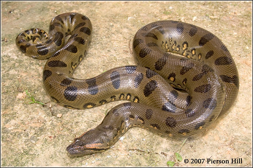 Green Anaconda (Eunectes murinus) | Flickr - Photo Sharing!
