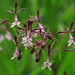 Epidendrum englerianum