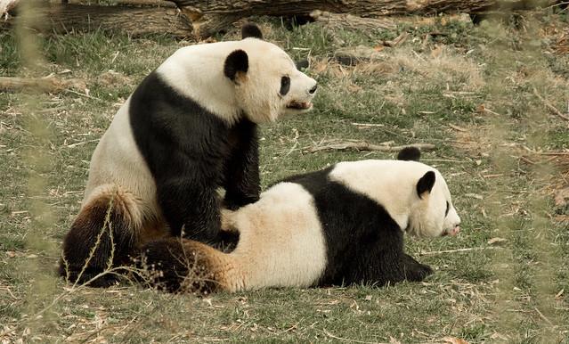 Panda Porn | Tian Tian does his job at the National Zoo in