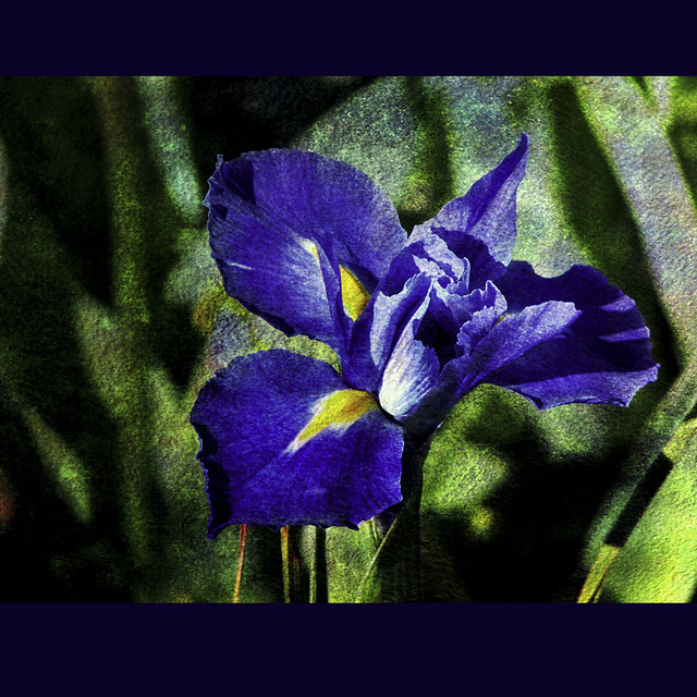 love should grow up like a wild iris in the fields Wildflowers of new york state  i was just in eastern upstate new york and the wild flowers there rekindled my love for them i'd like  mine hasn't curled up.