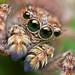 Sitticus fasciger Jumping Spider