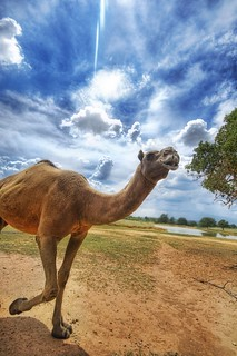 Camel in the Wild | by Stuck in Customs