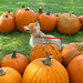 A pumpkin dog ignoring me