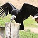 Wingspan of the Andean Condor