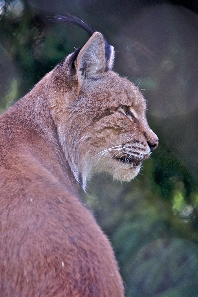 Endangered species - LYNX | This picture has been taken at ...