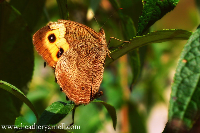 Common Wood Nymph Butterfly | Flickr - Photo Sharing!