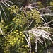Miscanthus Silberfeder and Fennel
