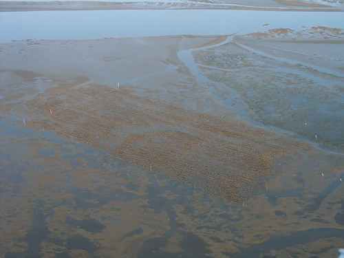Oyster beds in Willapa Bay | by Sam Beebe, Ecotrust