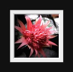 bromeliad flowering