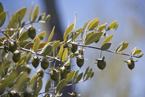Seeds on a Female Jojoba Bush | by desertdutchman