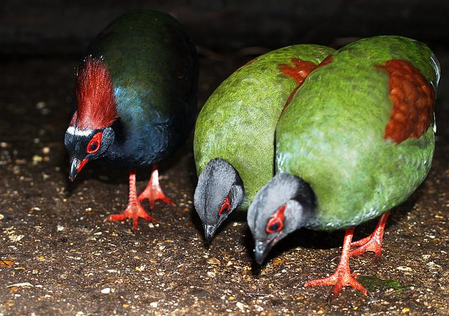 Rouloul Partridges In The Living Rainforest In Berkshire