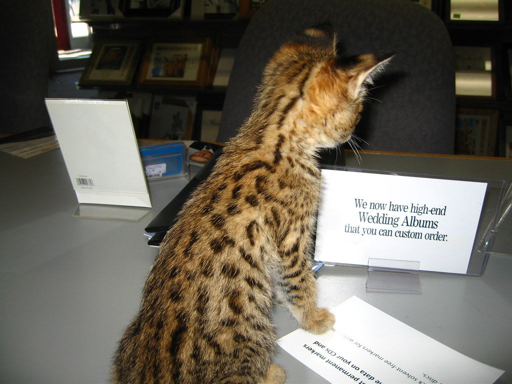 Bengal Cat Breeder New Brunswick