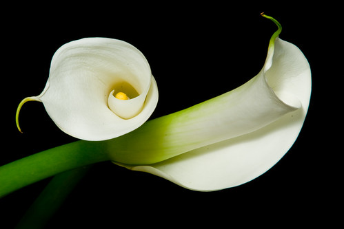 Alcatraz / Calla Lillies | Flickr - Photo Sharing!