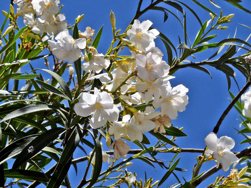 Laurel de jardin blanco jagar41 juan antonio flickr for Laurel de jardin