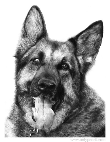 "German Shepherd Pencil Drawing | Size: 11""x14"" Medium ..."
