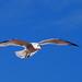 nauset seagull