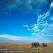 African savanna elephant, Masai Mara National Reserve, Kenya