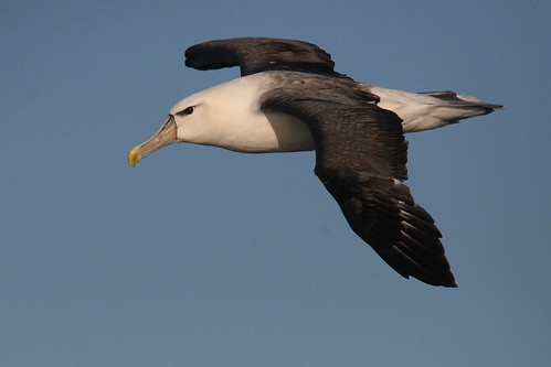 Black-browed Albatross | by marj k