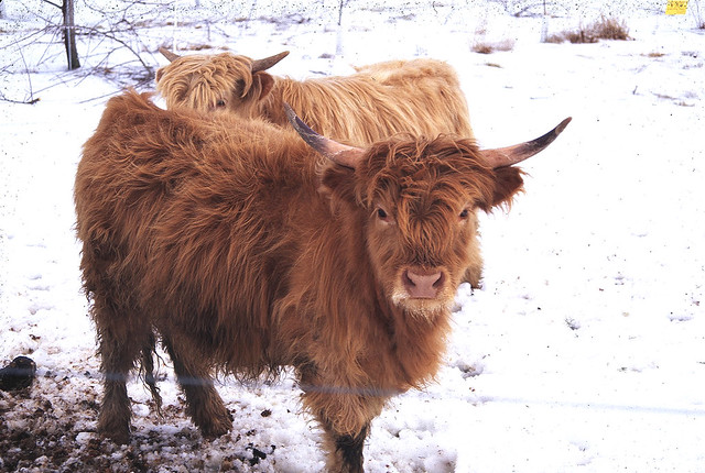 Hairy Cattle 36