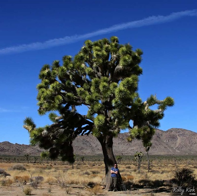 Largest Joshua Tree I Ve Seen Blogged At Www Kolbykirk