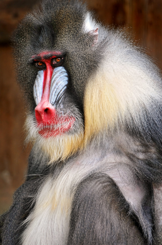 Macho Mandrill A Portrait Of A Male Mandrill Of The Zoo