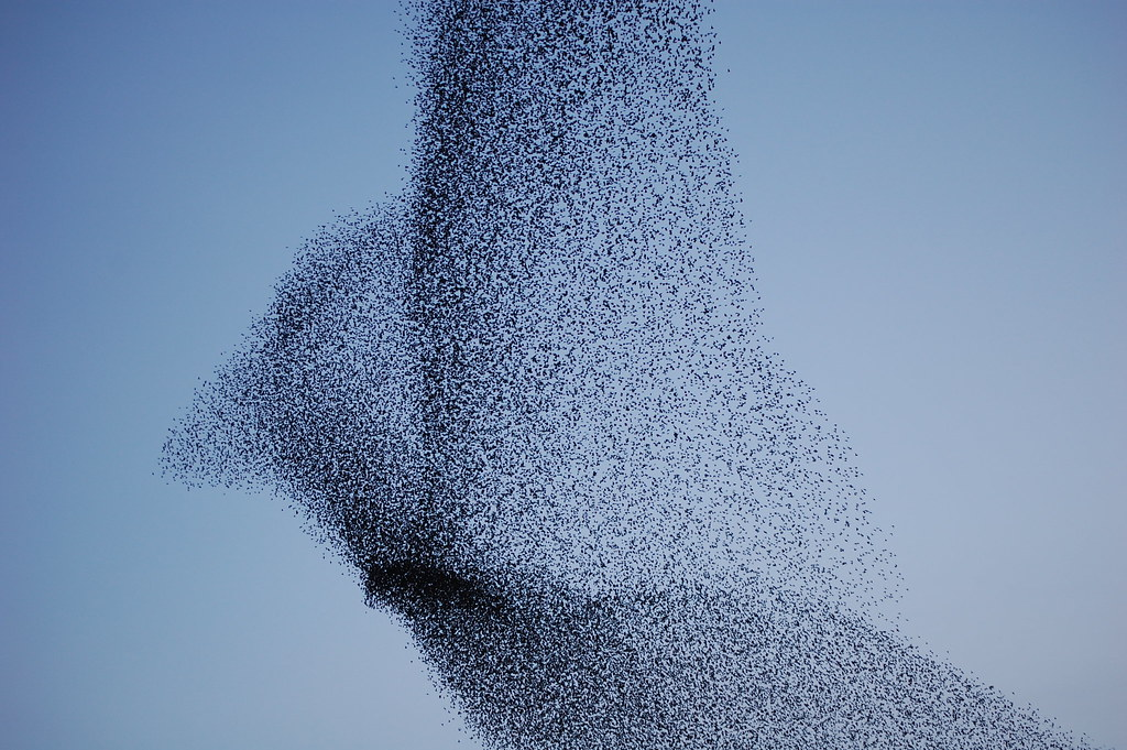 Starling Bird Flock Flock of Starlings at