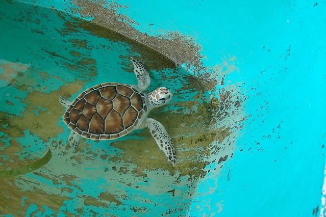 Tartaruga Verde Beb 234 1 Baby Green Turtle 1 Dos