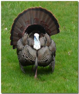 ~Yes!  Another Turkey! | by ~Sage~