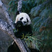 25015692-giant_panda