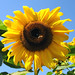 My Sunflower wishes you sunny Days ...