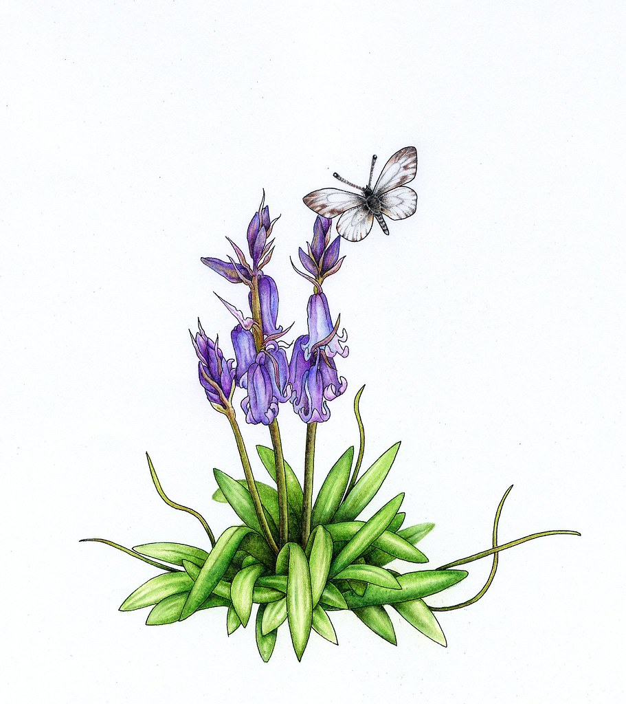 What Is The Flower For April: Bluebell And Daisy April Flower Of The Month