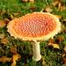 Fly Agaric Mushroom - Toadstool as Lucky Charm