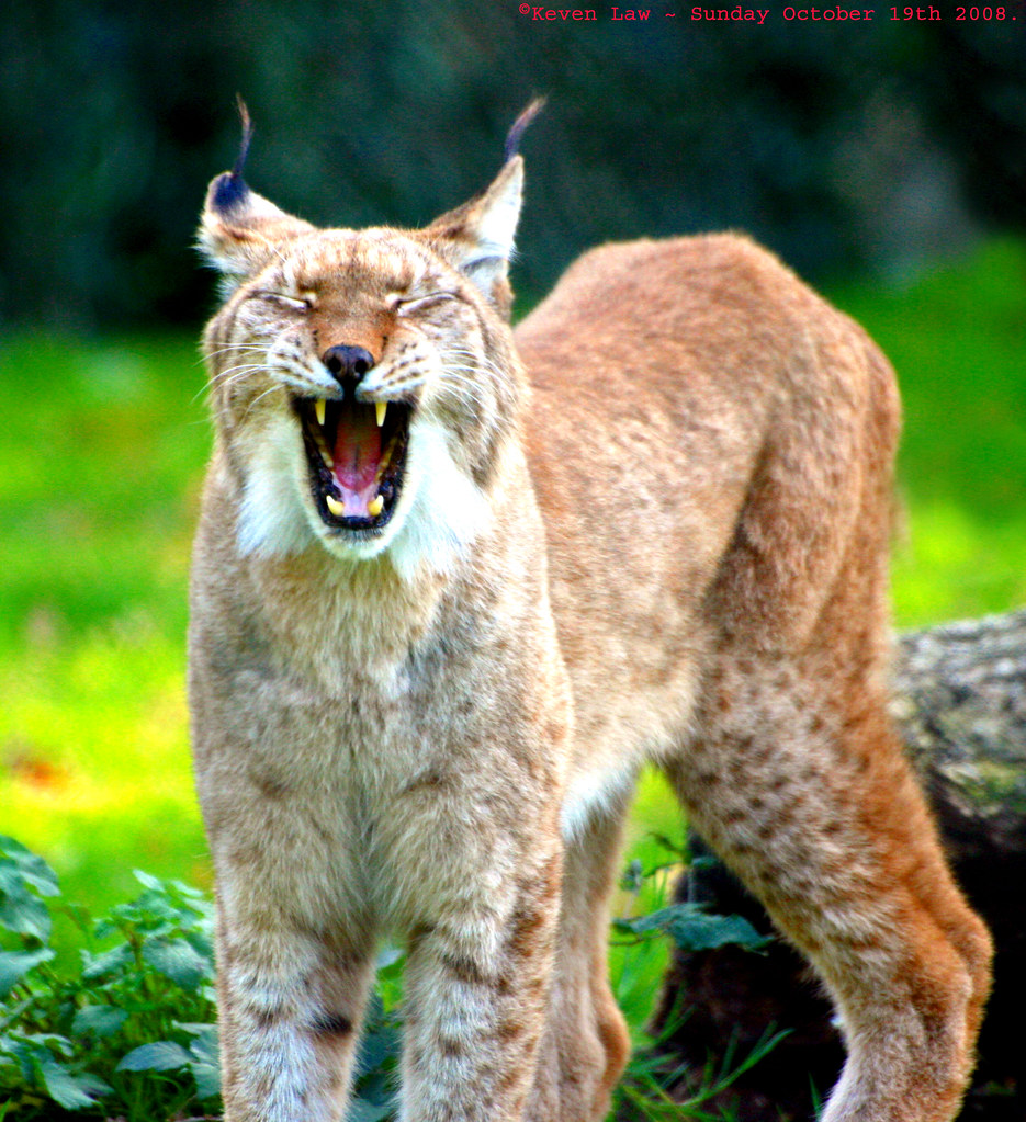 Northern Lynx - Howletts Wildlife
