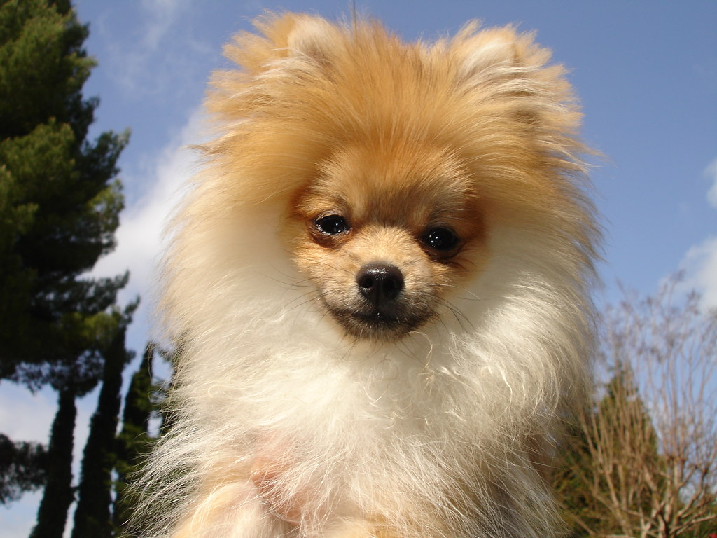 pomeranian puppy uglies bentley my pom during his puppy uglies when poms lose 7480