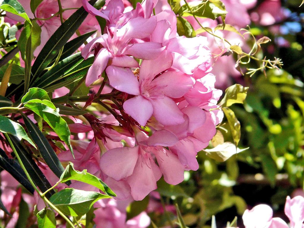 Laurel de jardin rosa jagar41 juan antonio flickr - Laurel de jardin ...