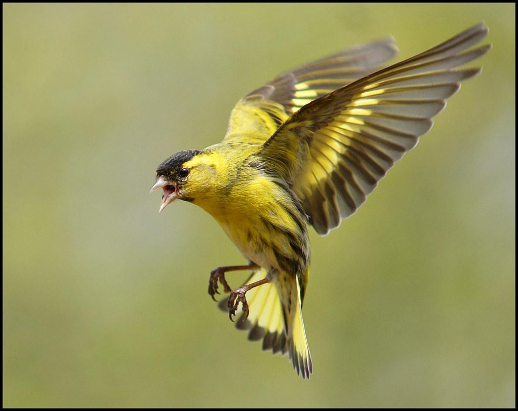 Siskin in flight | The...