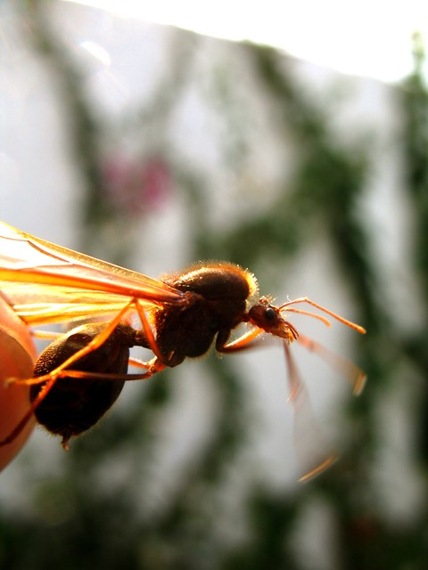 All Sizes Guatemalan Sompopo Ants Flickr Photo Sharing