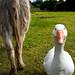 Goosey Goosey Gander and Donkey